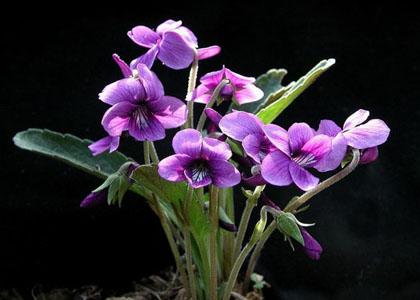 ramo_flores_violetas