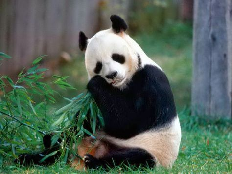 Imagen-osa-panda-Foto-blogdeprimeroblogspotcom_LRZIMA20160602_0021_11